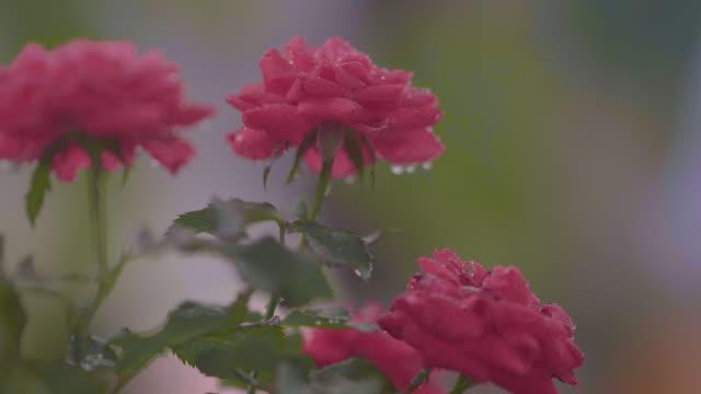 vídeos y material grabado en eventos de stock de lluvia sobre rosas rojas - una rosa
