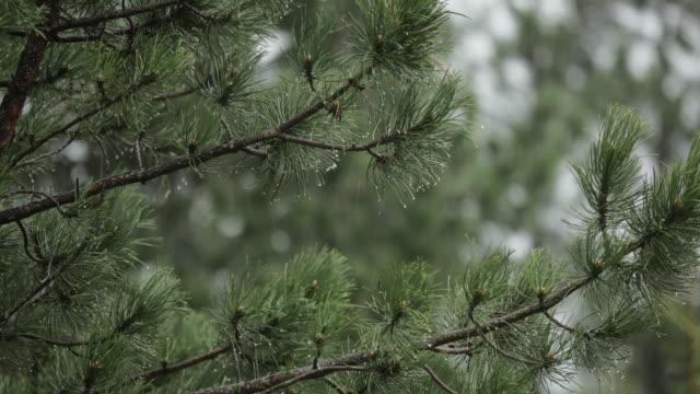 松の木の上を雨 - クローズ アップ