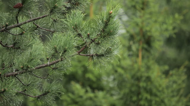 rain over pine tree - close up - pine branch stock videos & royalty-free footage
