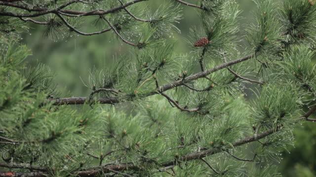 Pluie sur pin