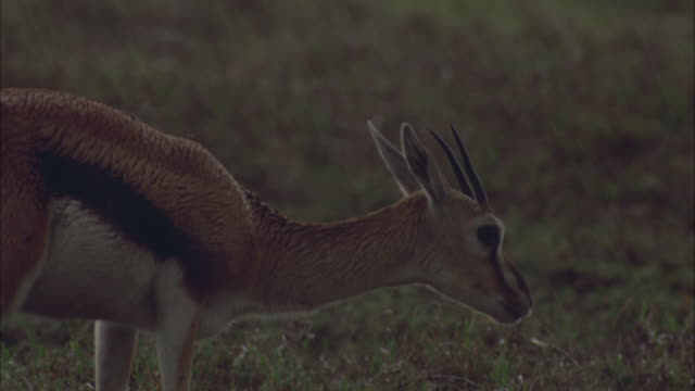rain pelts a thomson's gazelle in serengeti national park, tanzania. - grazing stock videos & royalty-free footage