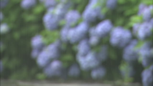 a rain shower waters hydrangea shrubs covered with blue flowers. - dissolvenza in chiusura video stock e b–roll