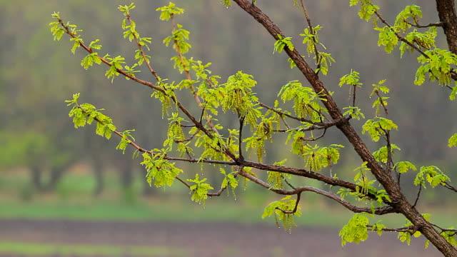 vidéos et rushes de pluie magnifique chêne - commencement