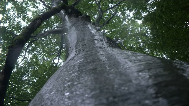 rain water flows down trunk of beech tree, shirakami mountains, akita, aomori, japan - beech tree stock videos and b-roll footage
