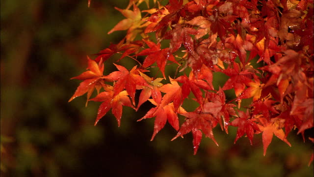 rain water soaks vibrant autumn leaves. jisso-in temple - maple leaf stock videos and b-roll footage