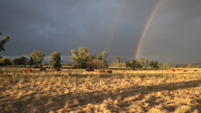 rainbow and beef cattle grazing with calves - grass fed stock videos & royalty-free footage