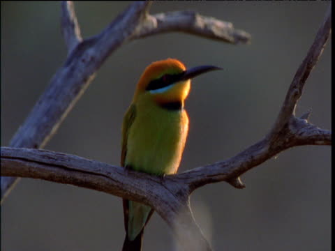 rainbow bee-eater looks around as it perches on twig, kings canyon, northern territory, australia - twig stock videos & royalty-free footage