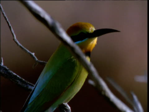 rainbow bee-eater perched on twig, then flies off, kings canyon, northern territory, australia - twig stock videos & royalty-free footage
