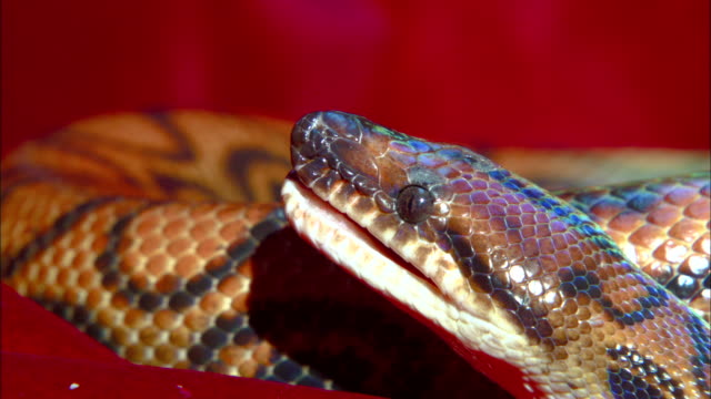 a rainbow boa opens its mouth. - scales stock videos & royalty-free footage
