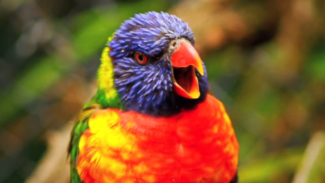rainbow lorikeet, colourful bird - close up - animals in the wild stock videos & royalty-free footage