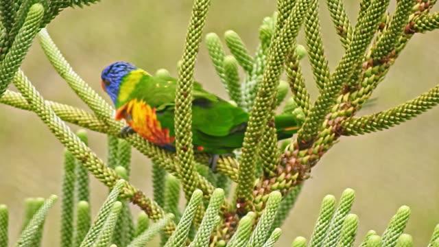 vidéos et rushes de rainbow lorikeet swaying on a tree branch - 40 secondes et plus