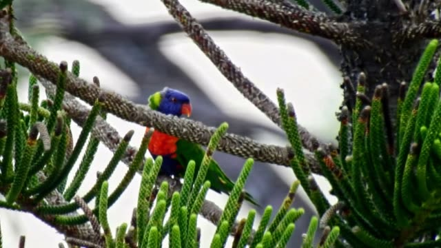 rainbow parrot birds in trees - foraggiamento video stock e b–roll