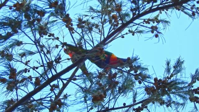 vídeos de stock, filmes e b-roll de rainbow parrot birds in trees - low angle view
