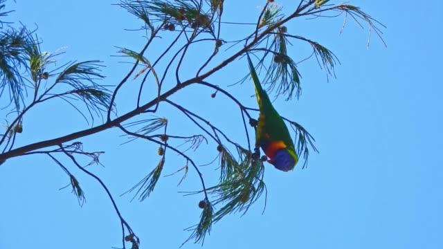 vídeos de stock, filmes e b-roll de rainbow parrot birds in trees - vista de ângulo baixo