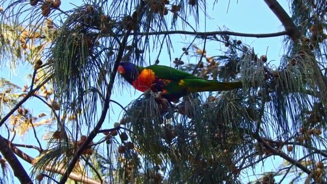 rainbow parrot birds in trees - 針状葉点の映像素材/bロール