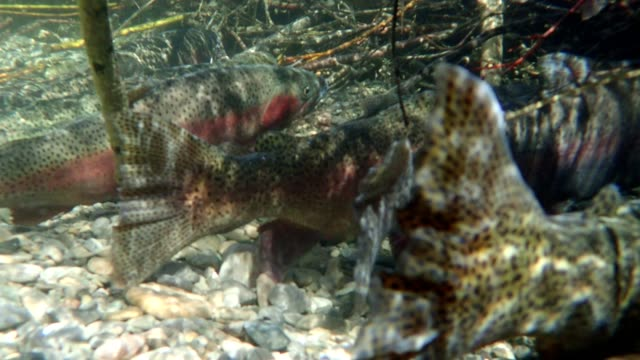 rainbow trout - montana western usa stock videos & royalty-free footage