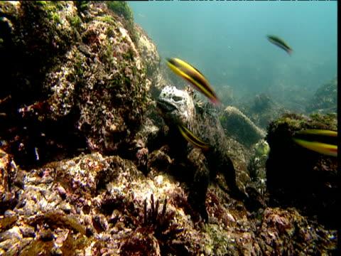 Rainbow wrasses (Thalassoma lucasanum) swim in front of marine iguana, Galapagos