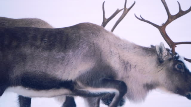 raindeer in snowy frosty forest - north stock videos & royalty-free footage