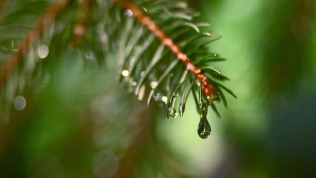 slo mo ld raindrop falling off a fir leaf - raindrop stock videos & royalty-free footage