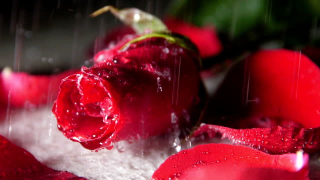 raindrop falling on rose - falling water stock videos & royalty-free footage