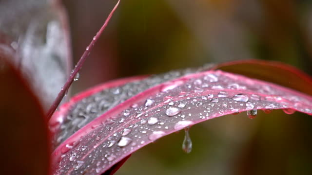 slo mo, cu raindrop on a leaf of red tropical plant - petal stock videos & royalty-free footage