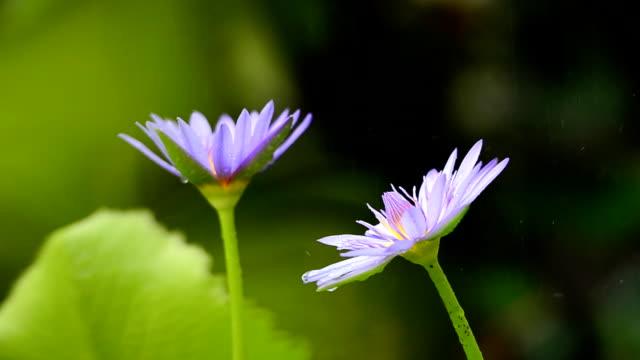 vidéos et rushes de goutte de pluie sur lotus - violet