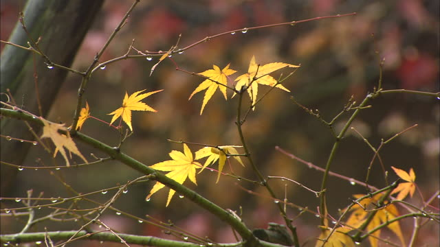Raindrops cling to a maple branch in autumn.\n