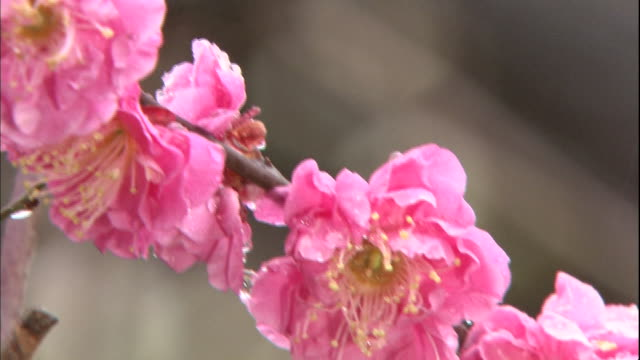 Raindrops cling to blossoms on a pink Japanese apricot tree in Osaka Castle Park.