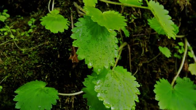 vídeos y material grabado en eventos de stock de raindrops cling to bright green foliage growing in moss. - parque natural