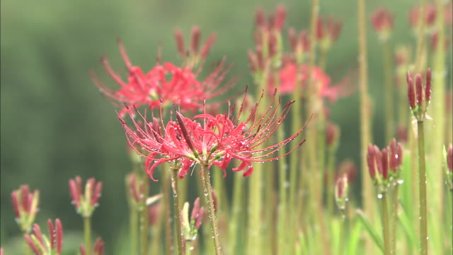 raindrops collect on spider lily blossoms. - spider lily stock videos and b-roll footage