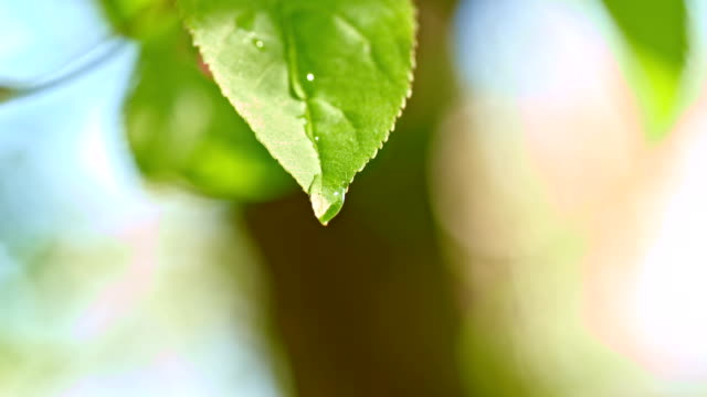 SLO MO Raindrops dripping off the leaf