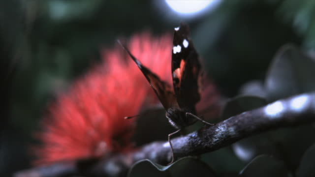 raindrops fall on a kamehameha butterfly (vanessa tameamea) as it takes off from a branch. available in hd. - insect stock videos & royalty-free footage