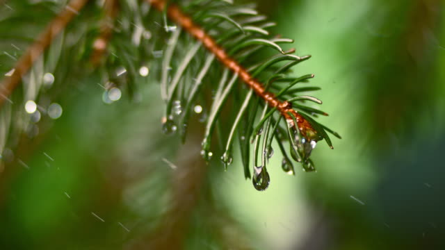 slo mo ld raindrops falling off a fir leaf - evergreen tree stock videos & royalty-free footage