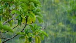 Raindrops falling on avocado tree