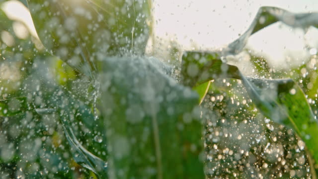 super slo mo raindrops falling on green leaves of corn plants - irrigation equipment stock videos & royalty-free footage