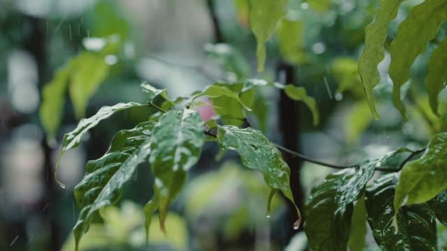 vidéos et rushes de gouttes de pluie tombant sur les feuilles gros plan - plante herbacée