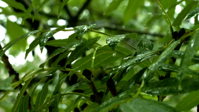 Raindrops Falling On Leaves Close-up (4K/UHD to HD)