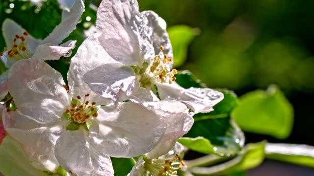vídeos de stock, filmes e b-roll de slo mo raindrops caindo sobre a apple blossom - pétala