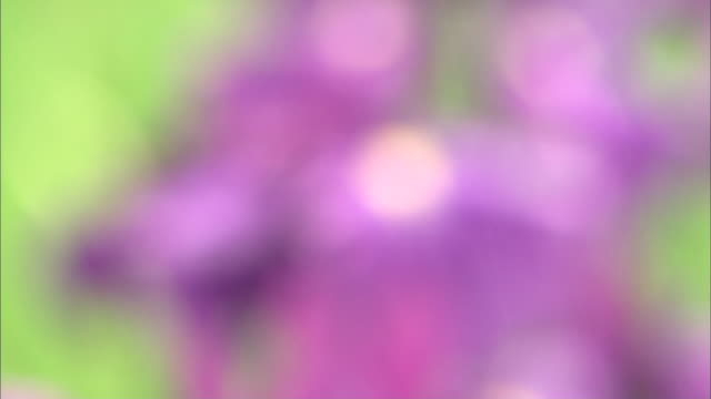 raindrops glisten on the petals of irises. - shiso stock videos & royalty-free footage