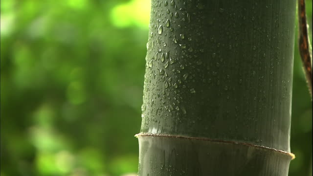 Raindrops on the bamboo stalk.