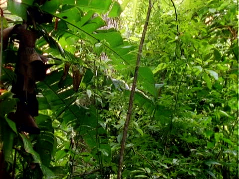 rainforest interior, pans left to red flowers (heliconia) - heliconia stock videos & royalty-free footage