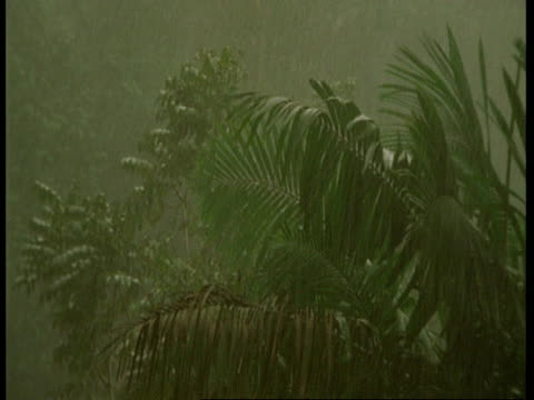 ms rainforest palm fronds in heavy wind and rain, south america - blattfiedern stock-videos und b-roll-filmmaterial