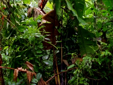 rainforest, rainforest interior, tilts up to red flowers (heliconia). - heliconia stock videos & royalty-free footage