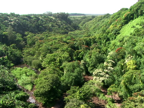 ws rainforest, the big island, hawaii, usa - fächerpalme stock-videos und b-roll-filmmaterial