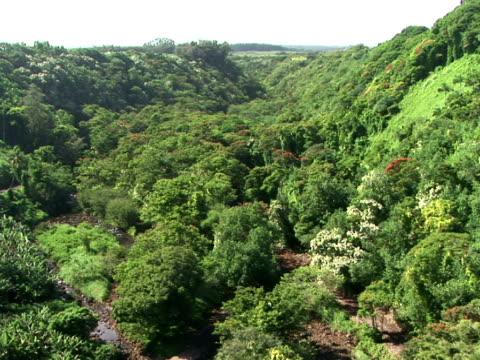 ws, zi rainforest, the big island, hawaii, usa - fächerpalme stock-videos und b-roll-filmmaterial