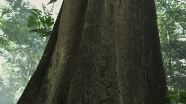 vidéos et rushes de rainforest tree - tronc d'arbre