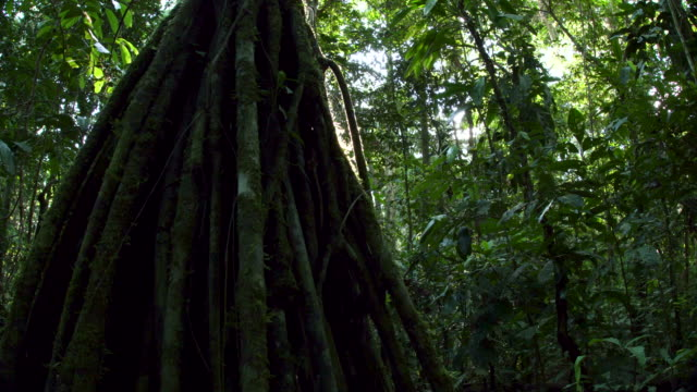 rainforest tree with lots of roots, low angle, starburst sunshine, right slide 4k - ecuador stock videos & royalty-free footage