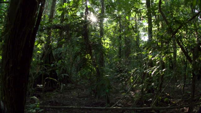 vídeos de stock, filmes e b-roll de rainforest understory, starburst sun peaking through, forward wide slide, 4k.mov - tambopata