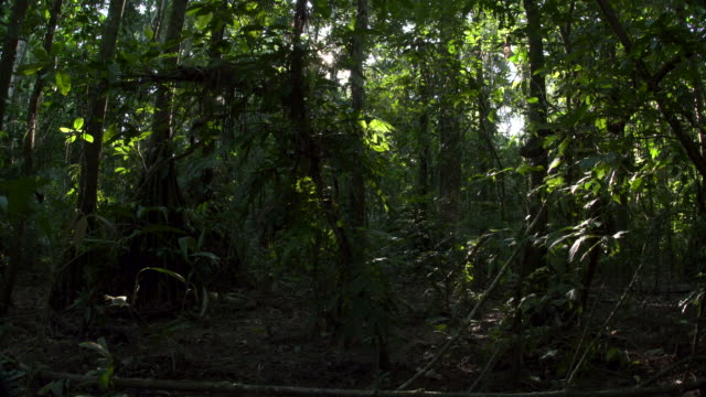 vídeos de stock e filmes b-roll de rainforest understory, starburst sun peaking through, rear wide slide, 4k.mov - solo