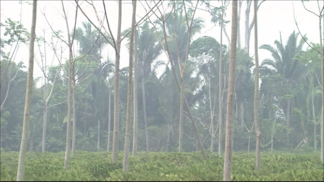 Rainforest  Zoom Back  Coffee plantation in rainforest   Wide Shot